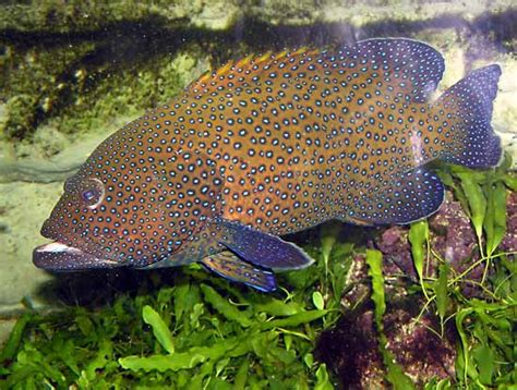 grouper hind peacock cephalopholis argus fish britannica inhabits oceans tropical pacific known indian which
