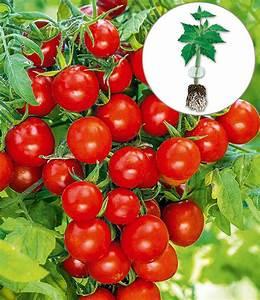 Hängepflanzen Für Balkonkästen : h nge tomate 39 tumbling tom red 39 1a qualit t kaufen ~ Michelbontemps.com Haus und Dekorationen