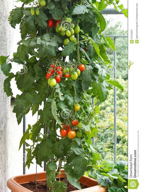 pomodori del balcone del vaso della pianta  pomodori