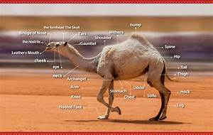 A Dozen Camels Disqualified From Saudi Beauty Pageant Over