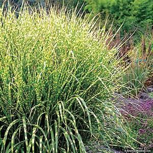 Gold Breeze, Miscanthus sincensis, Zebra Grass ...