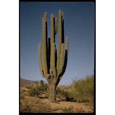 CalPhotos: Pachycereus pringlei; Cardon Cactus