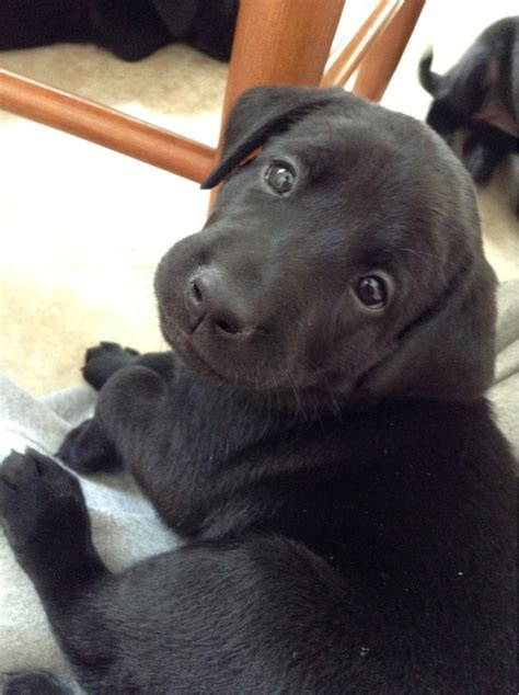 Went to visit a liter of new born black labs and got to ...