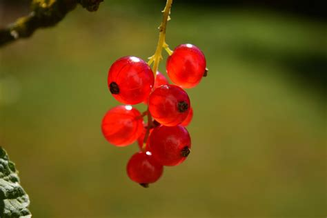 image libre fruits nature feuilles berry ete
