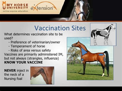 horse vaccinating vaccination injections site