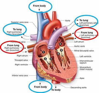 Blood Flow Heart Path Through Anatomy Order