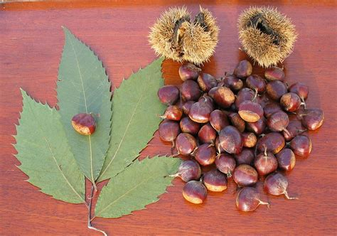 american seeds american chestnut wikipedia
