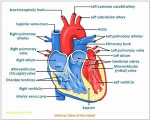 Picture Of Heart With Arteries Labeled