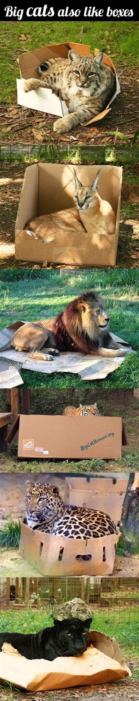 big cats in boxes big cats boxes