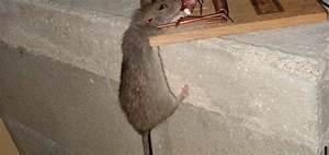 Comment Se Debarrasser Des Rats : comment se d barrasser des rats dans les combles taupier sur la france ~ Melissatoandfro.com Idées de Décoration