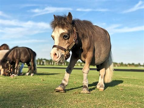 dwarfism dwarf horse horses equine problem tiny require management special these