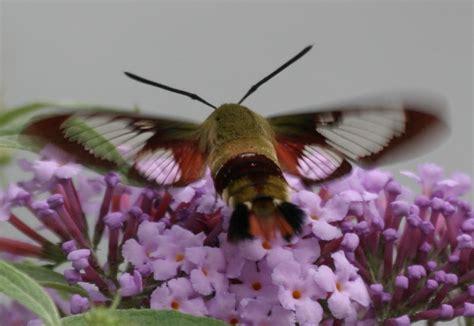 wild birds unlimited a very tiny hummingbird moth