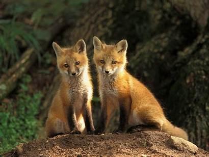 Foxes Fox Animals Babies Animal Freeoboi Desktop