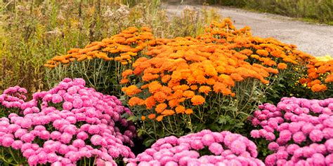 How To Get Your Hardy Mums To Bloom This Fall! Summer Mum Care