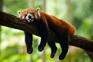 Sleepy Red Panda Forgot About His Tongue | Adorable ...