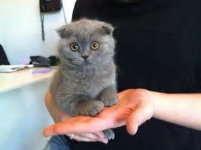 scottish fold cat for scottish fold cat info personality kittens pictures