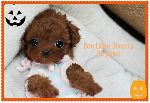 Tiny Rosy Gorgeous Dark Apple Red Micro Teacup Poodle ...