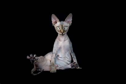 Sphynx Cat Hairless Cats 4k Wallpapers Background