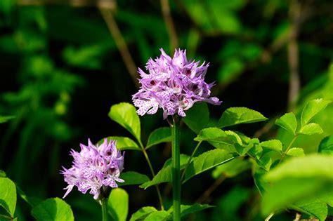 tappeti maculati le orchidee una rarit 224 molto diffusa aniene wilderness