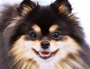 Pomeranian Brown And Black