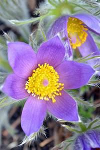 Pasque Flower Tundra - ma