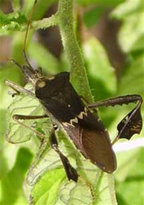 leaf footed bug whats  bug