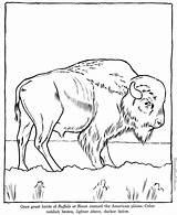 Buffalo Coloring Popular sketch template