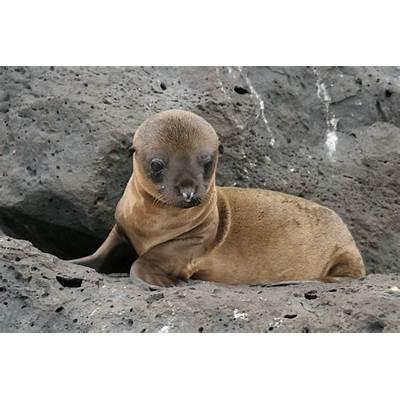 File:Galapagos Islands Baby Sea Lion.jpg - Wikimedia Commons