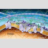 glycocalyx-in-plasma-membrane