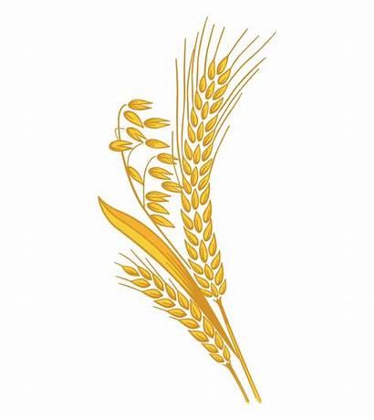 Wheat Rice Grain Clipart Transparent Cartoon Clip
