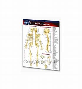 Human Skeletal System  U2013 Laminated Quick Reference Guide 8