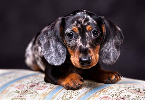 Datsun Puppies by Dachshund Puppies For Sale Akc Puppyfinder