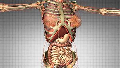 Organs Anatomy Human Bones Science Scan Diagram