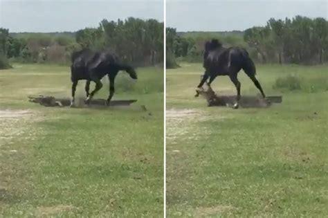 horses horse predators wild natural alligator attacks attack attacking alligators