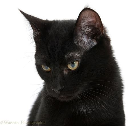 Background Black Cat by Black Cat Photo Wp21585