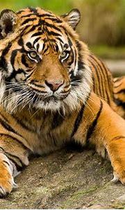 The Sumatran tiger – smallest tiger | DinoAnimals.com ...