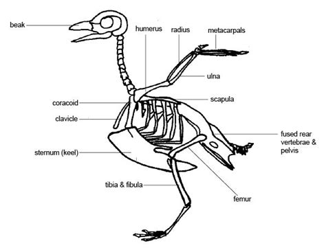 ornithology are there birds with knees instead of elbows