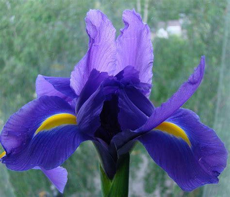 iris flowers iris flower blue purple white iris flower pictures