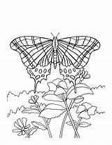 Butterfly Pages Coloring Butterflies Monarch Flowers Printable Flower Sheets Adult Print Adults Colouring Drawing Bestcoloringpagesforkids Insect Spring Books Roses Daisy sketch template
