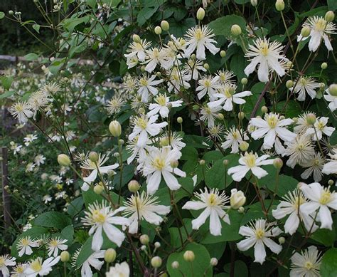 Summer Snow by Stj 228 Rnklematis Clematis Fargesii Summer Snow Plants
