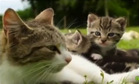 Unlikely Friendships Cat And Ducklings  Cats Vs Cancer