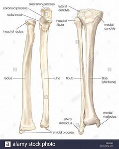 Bones Of The Forearm And Lower Leg Stock Photo  Royalty Free Image  27703555
