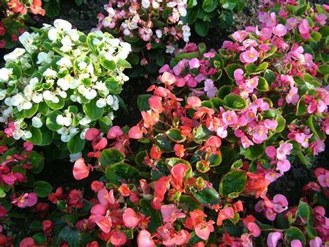 fiori begonie begonie piante da giardino come coltivare begonie