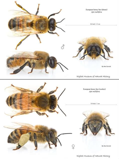 ground dwelling bees beekeeping photos and videos waikato beekeepers