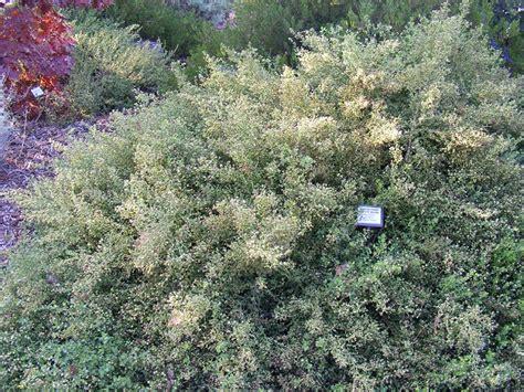 flowering shrubs pacific northwest coyote bush baccharis pilularis pacific northwest native shrub