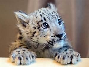 Newborn Snow Leopard | www.pixshark.com - Images Galleries ...