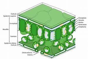 File Leaf Tissue Structure Es Svg