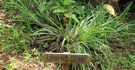 repel mosquitoes in yard top 5 plants that repel mosquitoes