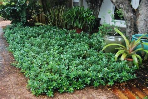 green island ficus michael spencers   green  creative  groundcover motivated