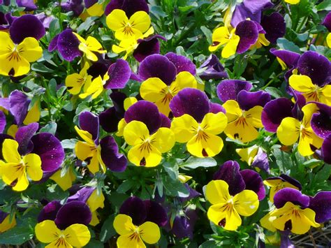viola flower wallpapers pansy flowers wallpapers